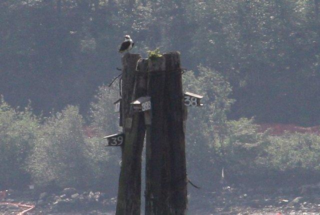 Osprey on Pylon