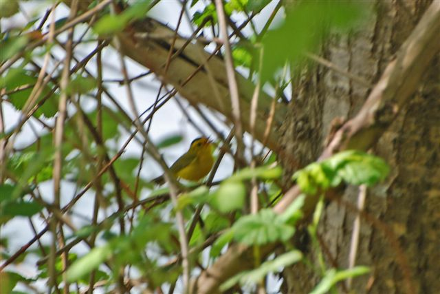 warbler,wilson's,maplewood flats 2010 (17 may) c