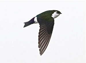 Violet-green Swallow (photo by Eric)