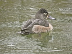 Ring-necked Duck (f)