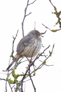 Sage Thrasher (we missed it!)
