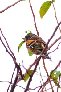 Brambling Photo by Marion Shikaze