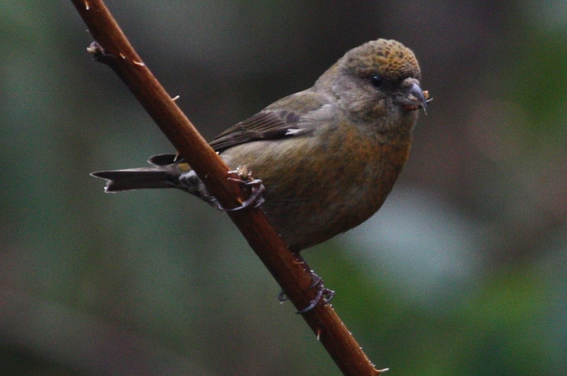 Red Crossbill (m)