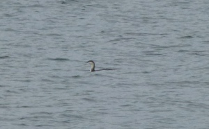 Red-throated Loon?