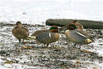 Eurasian (Common) Teal