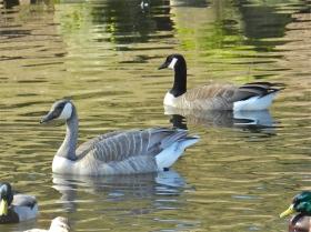Grey Goose & Canada Goose