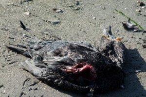 Dead cormorant (with dead fish)