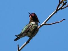 Anna's Hummingbird (m)