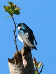 Tree Swallow (m)