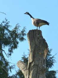 Canada Goose look-out