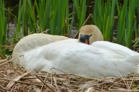 Keeping an eye out nest-sitting--Mute Swan