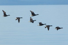 Brant fly-by