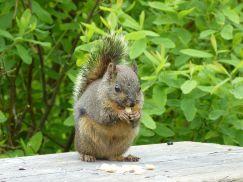 DouglasSquirrel