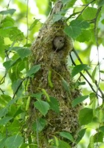 Bushtit in opening to nest