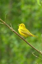 Yellow Warbler (m)