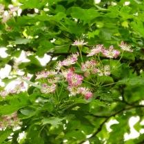 variegated Hawthorne