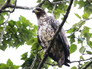 S_Bald_Eagles_IMG_0072
