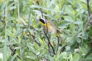 Common Yellowthroat (Terry Carr Photo)