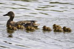 Mallard (f) w. ducklings