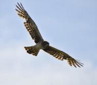 Northern Harrier (f)
