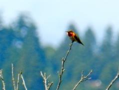Rufous Hummingbird (m)
