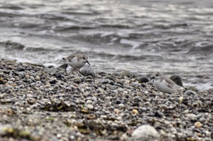 Sanderlings (GB)