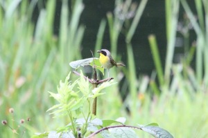 Common Yellowthroat (m)