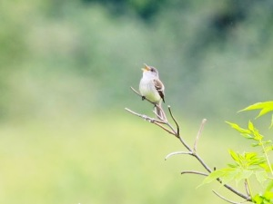 Willow Flycatcher  (Jonathan Mwenifumbo Photo)