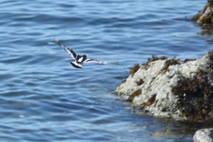Black Turnstone (Terry Carr photo)