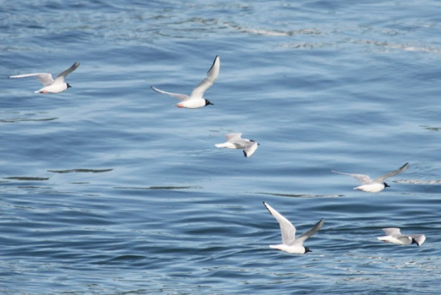 Bonaparte Gulls (Terry Carr Photo)