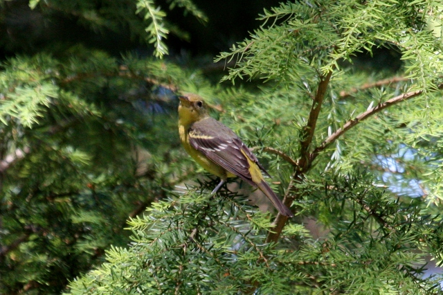 Western Tanager (f)