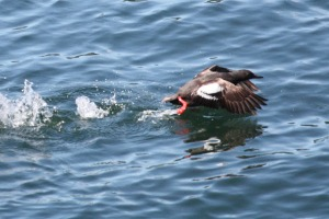 Pigeon Guillemot (Terry Carr photo)