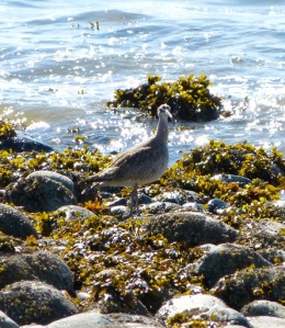 Whimbrel (Bryan King photo)