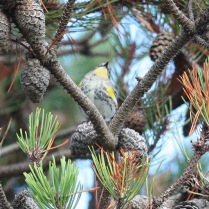 Yellow-rumped Warbler (Audobon's)