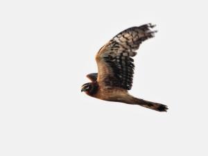 Harrier_IMG_0010C
