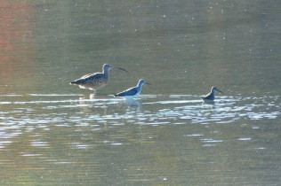 Long-billed Curlew, Greater Yellowlegs, Dowitcher