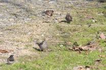American Tree Sparrow (back)