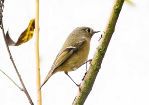 Ruby-crowned Kinglet (Tony)