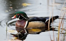 ST022_WDuck