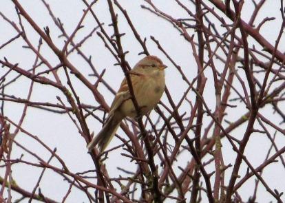 American Tree Sparrow (BD)
