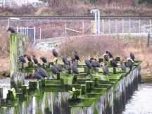 Double-crested Cormorants (BD)