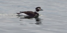 Long-tailed Duck (f) (BD)