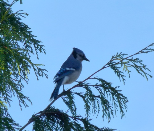 Blue JaY 215 Gamma St. N. Burnaby Nov 21, 2013