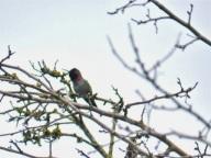 Anna's Hummingbird (KB)