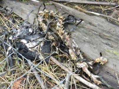 River otter carcass