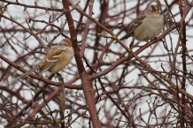 American Tree Sparrow & White-crowned Sparrow (TC)