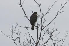 Cooper's Hawk (TC)
