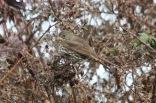 Fox Sparrow (TC)