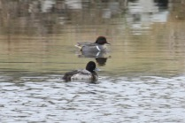 Green-winged Teal & Scaup (TC)