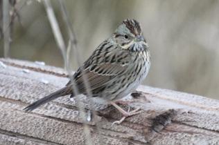 Lincoln's Sparrow (TC)